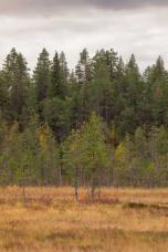Wald bei Pajala